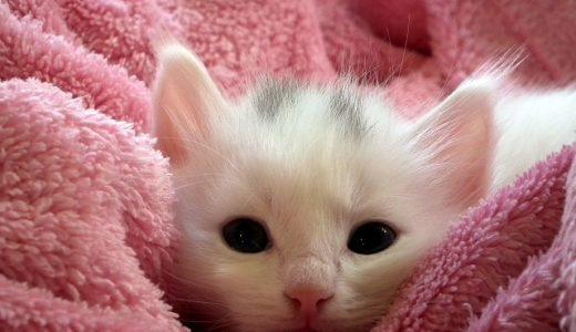 里親サイトで子猫の里親探しをした体験談と見つけ方のポイントを書いてみたよ